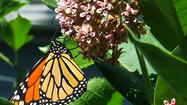 Monarchs . . . Bringing Back America's Most Beloved Butterfly