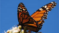 Is the Plunge in Monarch Butterfly Numbers Linked to GMOs?