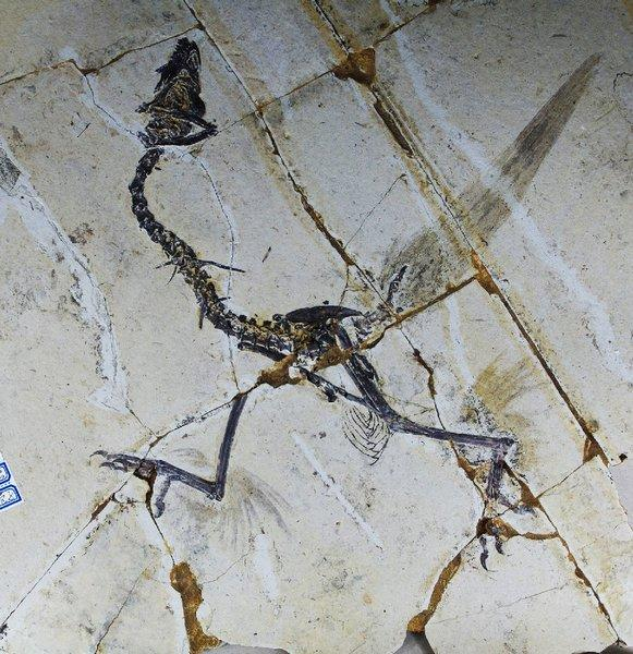This handout photo shows a Sapeornis, a type of bird that until now was not believed to have hind feathers. But scientists in China say that some primitive birds used four wings more than 120 million years ago, before evolution led them to ditch their hind feathers in favor of scaly feet.
