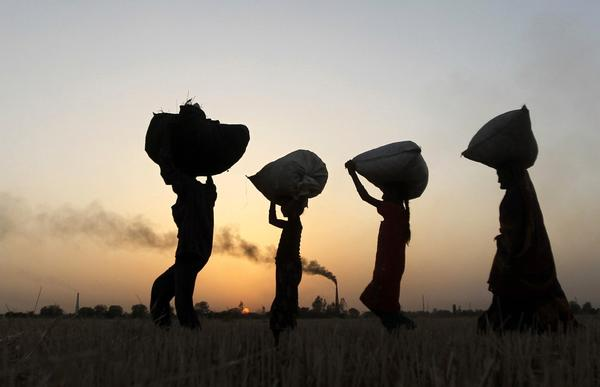 Labourers carry harvested wheat as they walk in a field on the outskirts of the western Indian city of Ahmedabad, India. India is holding firm to a price of $300 a tonne for its wheat despite falling global prices, setting the scene once again for piles of rotting grain, even though it needs to feed its half-a-billion poor.