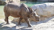 Rhinoceros at sanford zoo