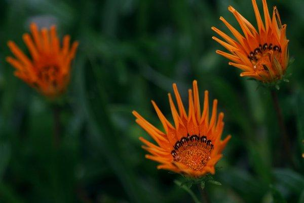 """Gazanias serve as colorful ground cover in the L.A. garden of """"Community"""" actor Jim Rash, whose garden was featured by L.A. at Home in 2011."""