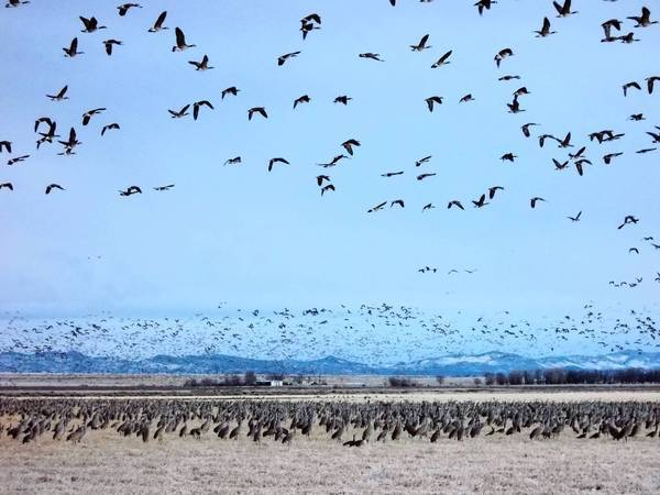 Flocks of Canada geese fly over a barley field full of sandhill cranes near Monte Vista, Colorado.