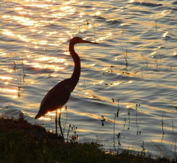 A wading bird enjoys a west Broward County sunset.