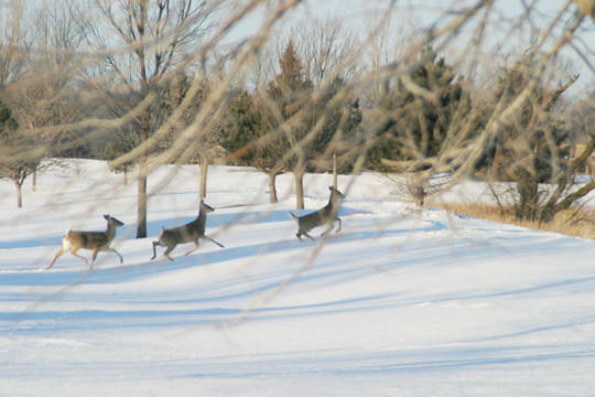 Golf courses popular with deer in winter months