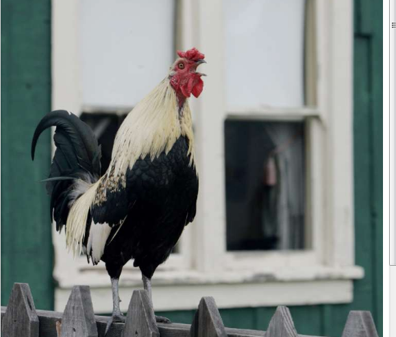 Scientists would like to figure out why roosters crow at dawn.