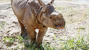 New rhinoceros at the Central Florida Zoo