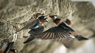 Highway-dwelling cliff swallows