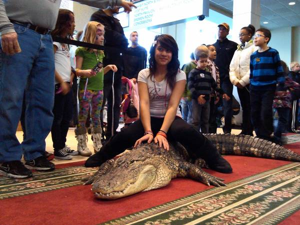 Demariz Zavala, 14, of Chicago, takes a seat on Bubba, a docile, 250-pound alligator who was among thousands of reptiles on hand for the North American Conference of Reptile Breeders show at the Tinley Park Convention Center last weekend.