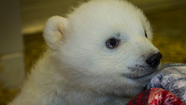 Photo Gallery: Recovered Polar Bear Cub Delivered to Alaska Zoo