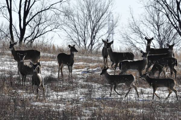 Deer at the Orland Grassland March 3. After hearing concerns from restoration advocates, the Cook County Forest Preserve District has finished plans for a 4.5-mile looping bike path in the Orland Grassland.