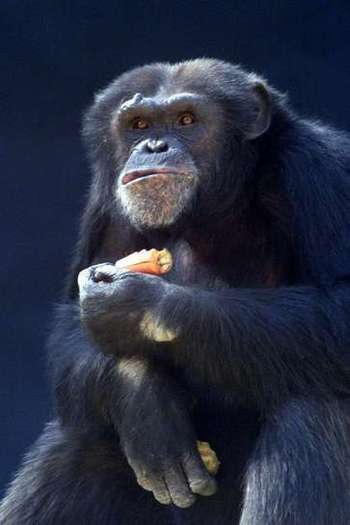 Chimpanzee cooperation