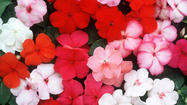 Impatience for spring is growing, but impatiens are not.