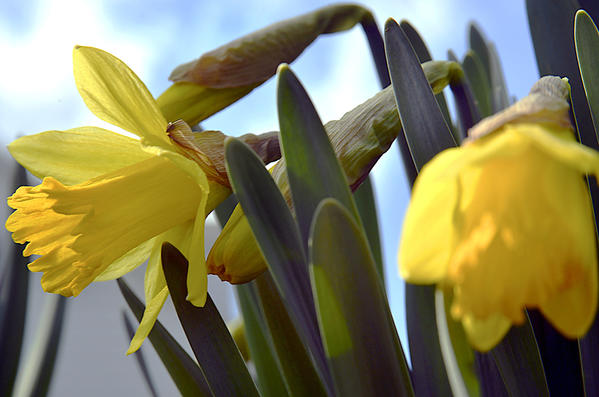 Daffodils bloom Tuesday in Leitersburg in time for the first day of spring despite a late winter storm that hit the area Monday.