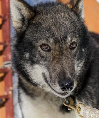 Dorado, who was scratched from the Iditarod race, died after being left outside overnight in the bitter cold.