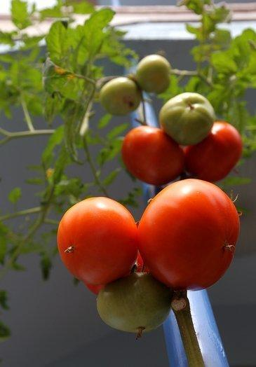 Researchers at UCLA have genetically engineered tomatoes that mimic the actions of good cholesterol when digested by mice.