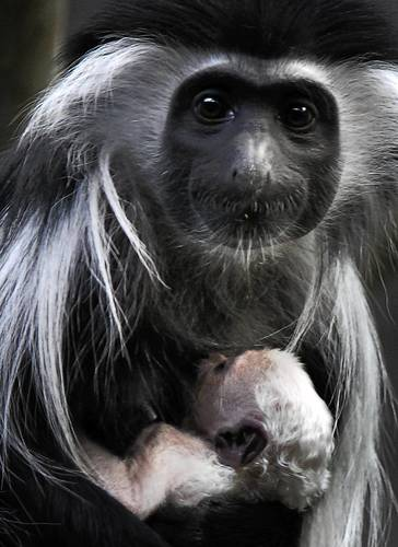 Olivia cradles her newborn.  Colobus infants are born with white fur which helps them blend in with the mother's long white hair.  The white color changes from white to gray to black, reaching adult color at around 3 months.