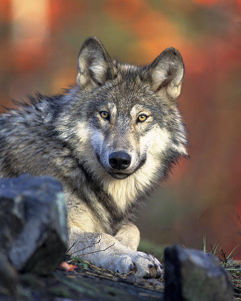 The Natural Resources Commission could authorize a wolf harvest in Michigan as early as this fall, said Adam Bump, bear and furbearer specialist for the Department of Natural Resources.
