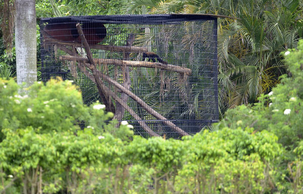 A caged monkey on the property of Richard L. Miller, a veterinarian and wildlife dealer, who keeps a private collection of rare animals in Southwest Ranches.