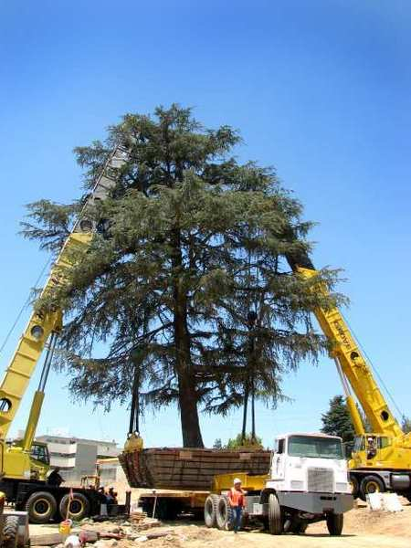 Deodar cedars have a long history in La Canada Flintridge. The city might keep them on a protected tree list.