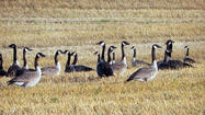 When settlers moved to the northern plains in the 1880s, including northeast South Dakota, they became acquainted with existing flocks of Canada geese and used them for sustenance.