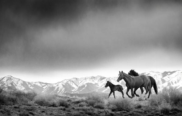 "A mare, foal and ""bachelor"" stallion gallop across the desert range of western Utah ahead of a storm."