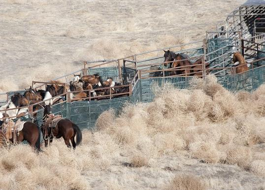 Horses are herded into a steel corral.
