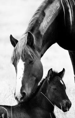 A mare, branded with a tracking number, nuzzles her foal.