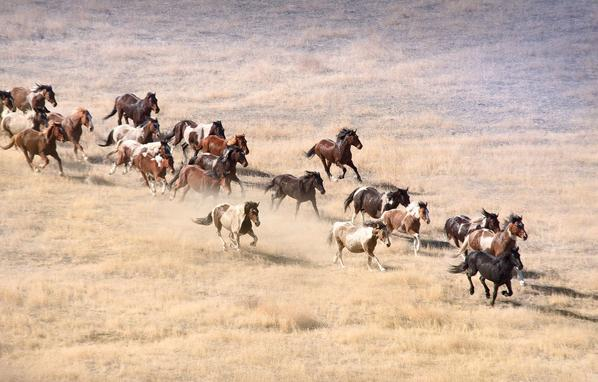 The U.S. Department of the Interior's Bureau of Land Management rounds up wild horses.