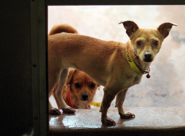 Dogs await adoption at the South L.A. Animal Shelter. Overnight hours at L.A.'s shelters may be eliminated.