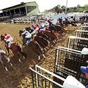 13 horses break from the gate at the Preakness