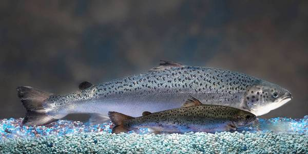 "A genetically modified Atlantic salmon grows more quickly than its natural counterparts. In the complex world of federal regulation, the Food and Drug Administration considers such fish to be ""new animal drugs."""