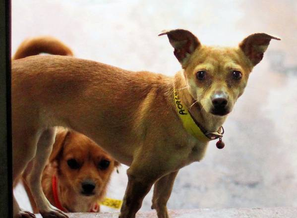 A pair of Chihuahuas check out a visitor at the South L.A. Animal Shelter. Work schedules at city shelters won't change, at least for now, after animal activists and union workers protested a plan to eliminate overnight staffing.