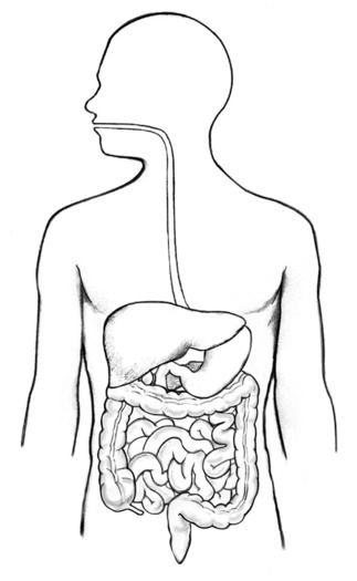 Human digestive tract