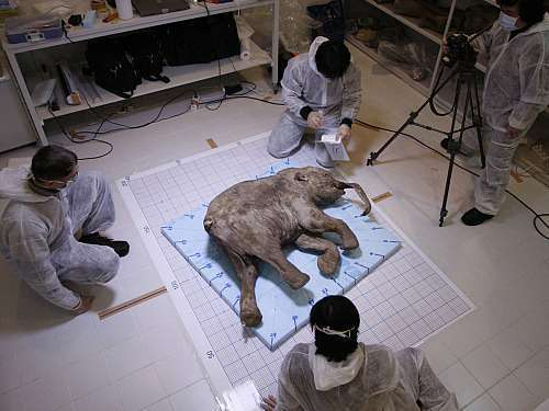 An intact baby woolly mammoth that was discovered by a Siberian reindeer herder in 2007 had been preserved in the frozen soil of the Arctic for about 40,000 years. Scientists say they may soon be able to revive ancient and extinct animals like the woolly mammoth using DNA fragments.