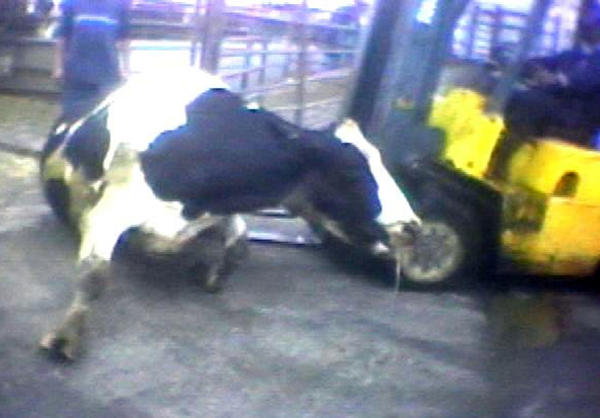"A Hallmark Meat Packing slaughter plant worker is shown attempting to force a ""downed"" cow onto its feet by ramming it with the blades of a forklift in Chino, Calif. in this image from a video provided by the United States Humane Society."