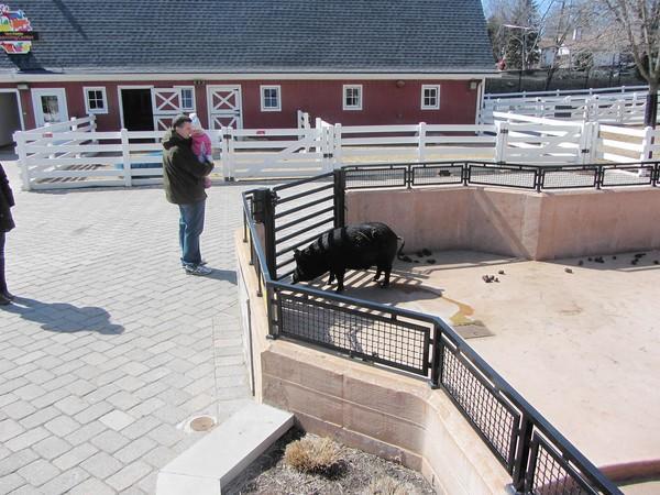 Matt Glasgow and his daughter, Ella, look at the pigs at Cosley Zoo.