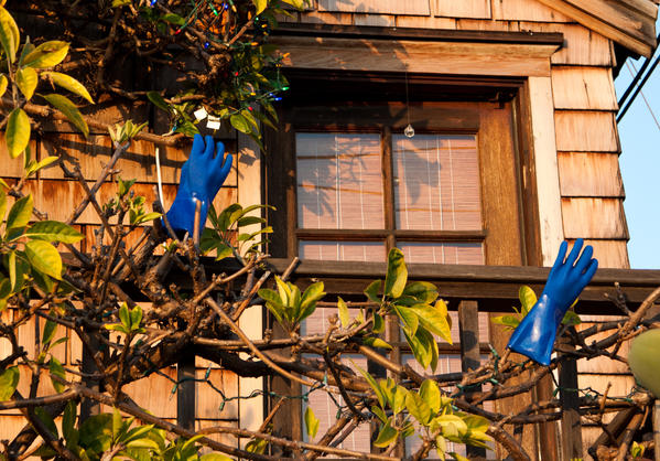 Of course it is logical to dry blue rubber gloves on plant branches in this midtown alley.