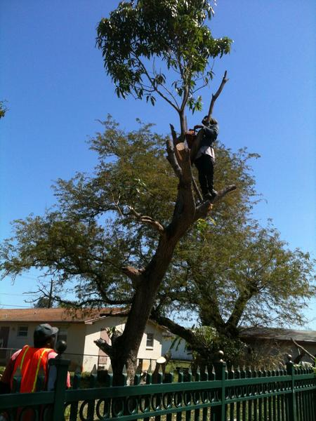 Ben Roc of All About Trees cuts down a mango tree in West Park from which Angel Dotel, 10, fell Tuesday onto a spiked fence. The boy will survive his injuries, his surgeon said.