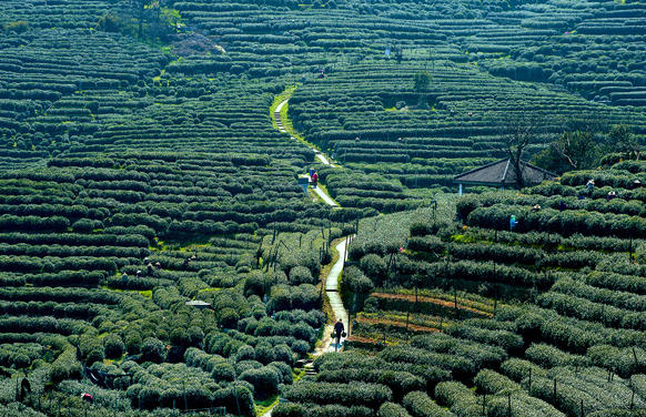 Some of the world's most coveted green tea grows in Hangzhou, China. Longjin