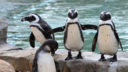 LIVE VIDEO: African Penguins at Lehigh Valley Zoo