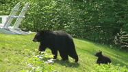 A bill allowing bear hunting is moving through the legislature. The bill would allow a lottery for bear-hunting licenses after February 2014 if a population study of black bears warrants it. (Connecticut's bear population is at 500 to 1,000, biologists say.) This would be the first such hunt since 1840, when bears were driven out of the state by hunts and loss of habitat. Is this a good idea?