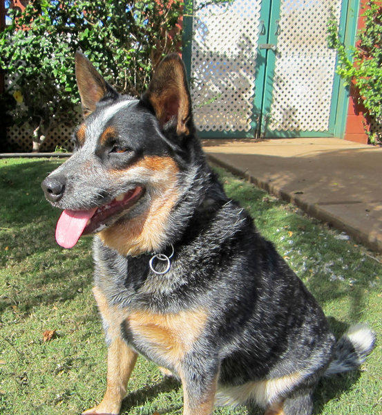 Jagger is one of the former residents of the Maui Humane Society who found a good home on the U.S. mainland, with an owner in Colorado. Visitors can now volunteer two afternoons a week at the Maui facility.
