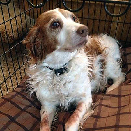 Maggie, a Brittany spaniel, was a member of the Krueger/Kolb family for 14 years.