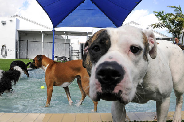Princess and Dallas play in one of the dog parks at the Lauderdale Pet Lodge in Fort Lauderdale, Florida.