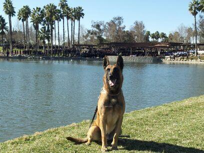 Fontana police dog Jaris was injured after he was allegedly thrown from a window by a parolee.