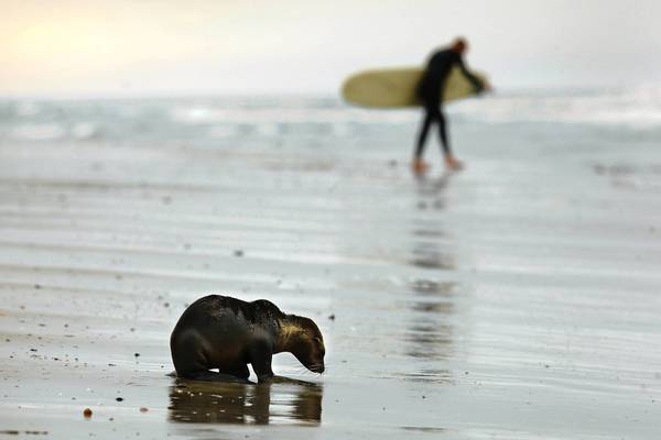 A weakened California sea lion pup near the Huntington Beach Pier. Sea lion strandings, which began rising in January, have intensified in recent weeks, packing marine mammal centers, perplexing researchers and prompting federal wildlife officials to act.