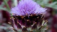Growing artichokes: Time to plant is now