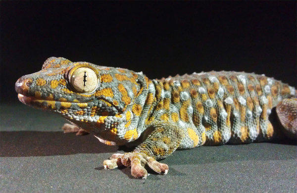 Geckos can cling to wet surfaces that are water-repelling, according to a new study in Proceedings of the National Academy of Sciences.