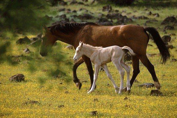 A horse and a foal roam the 5,000-acre Wild Horse Sanctuary in Shingletown, Calif.